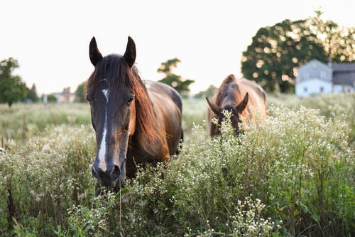 Calm brown horses standing on green lush meadow with tall grass in countryside on clear day