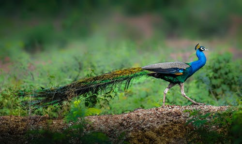 Peacock with bright feathers walking on ground surrounded with green fresh grass in wild nature of forest in soft focus