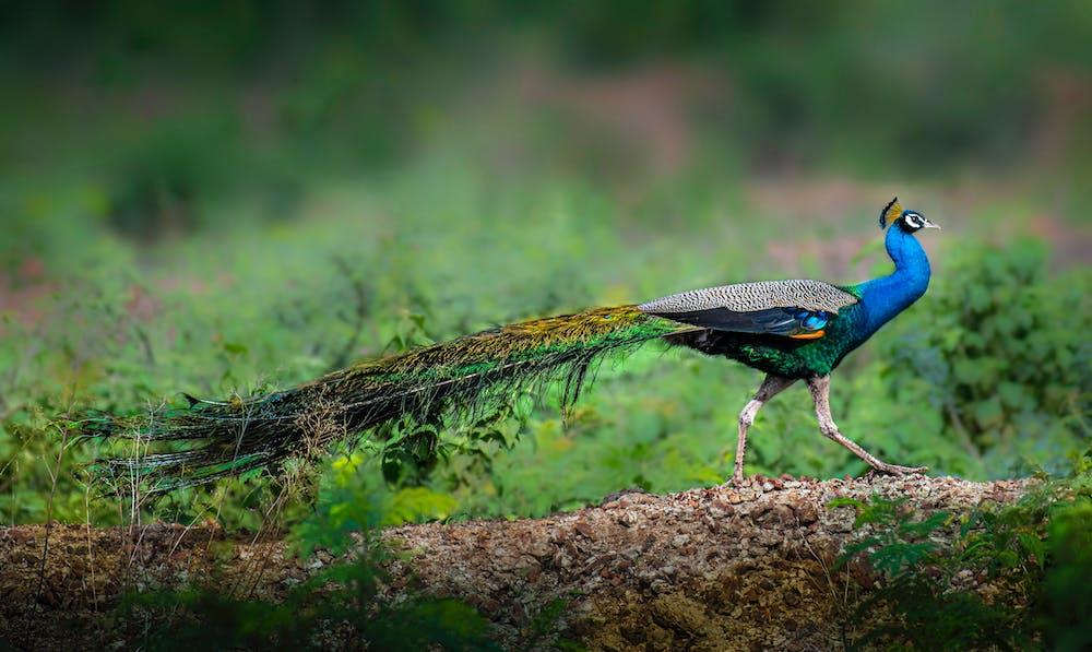 Peacock @pexels.com