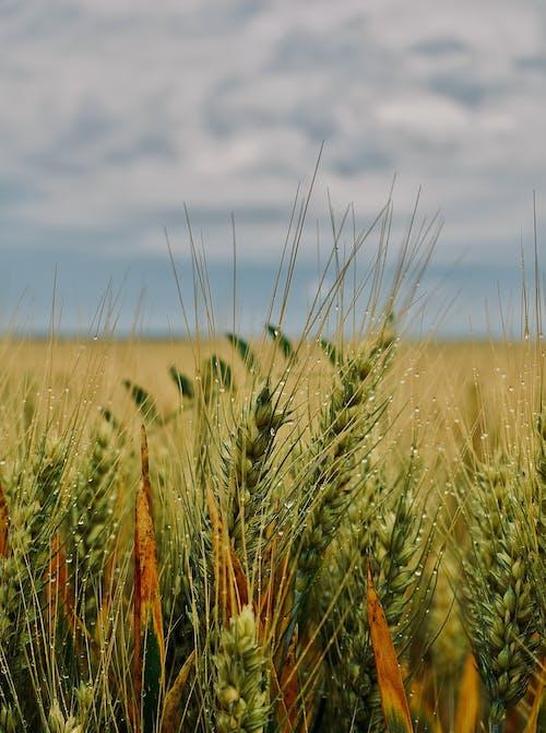 Green wheat growing in field