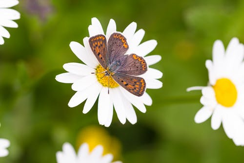 Brown and White Butterfly on White Daisy in Close Up Photography