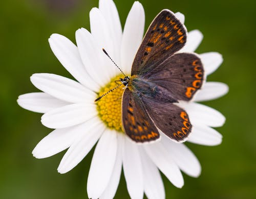 Brown and Black Butterfly on White Daisy
