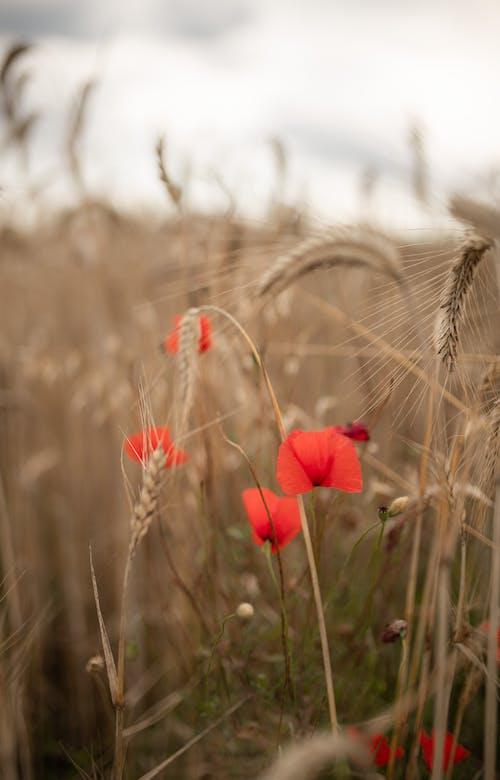 Red Flower in Brown Wheat Field