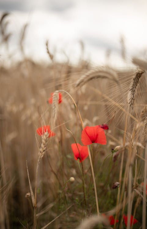 Picturesque scenery of blooming common poppy flowers growing on agricultural field in countryside against cloudy sky