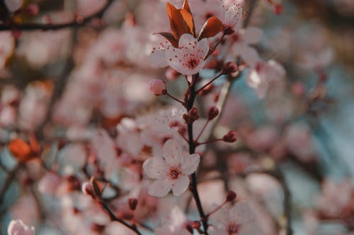 Free stock photo of blossoms
