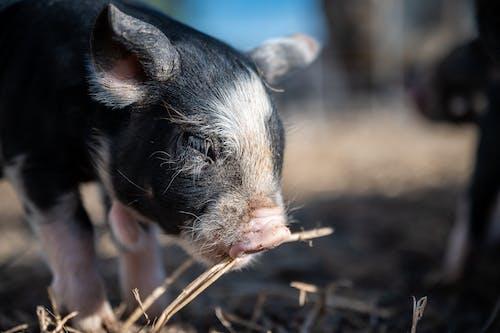 Cute small pig eating dry twig on farm