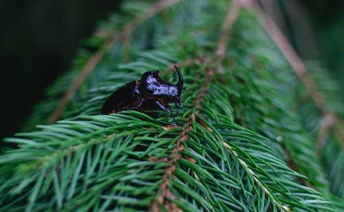 Free stock photo of bug, rhinoceros bug