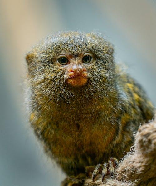 Gratis lagerfoto af abe, behåret, dyr, dyreliv