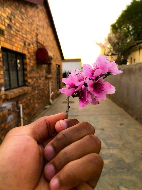 Free stock photo of beautiful flower, hand