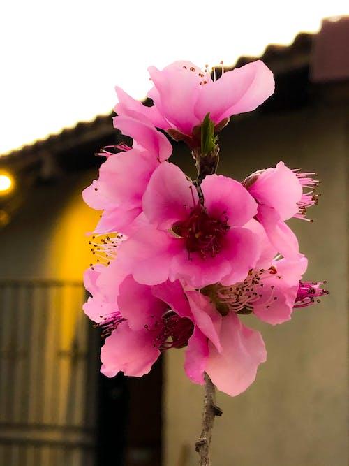 Free stock photo of flowers, peach