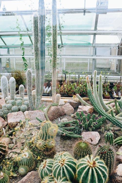 Green Cactus Plants Inside Greenhouse