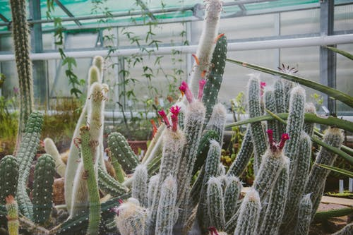 White and Pink Cactus Plants