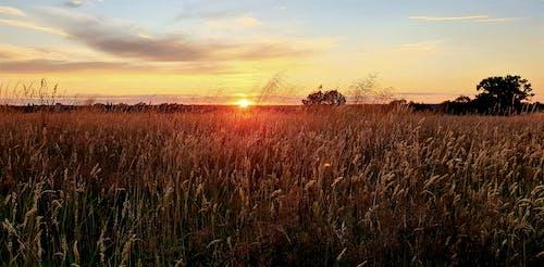 Free stock photo of cornfield, crops, evening sky, evening sun