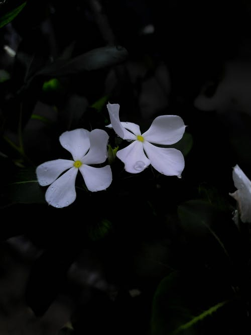 Free stock photo of beautiful flower, black, flower