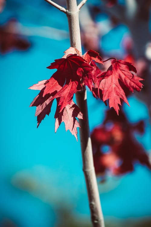 Red Maple Leaf on Brown Stick