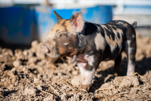 Black and White Piglet on Brown Soil