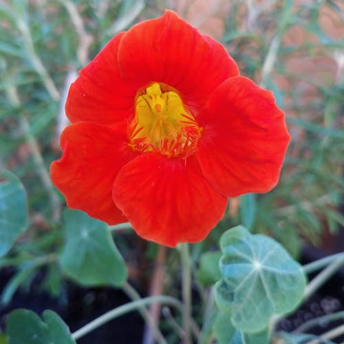 Free stock photo of flower garden nasturtium gardening