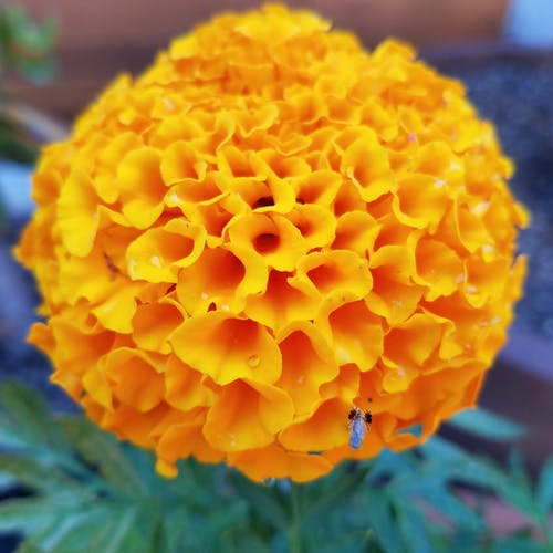 Free stock photo of flower garden African Marigold gardening
