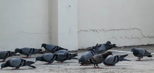 Free stock photo of animals, birds, dove, fauna