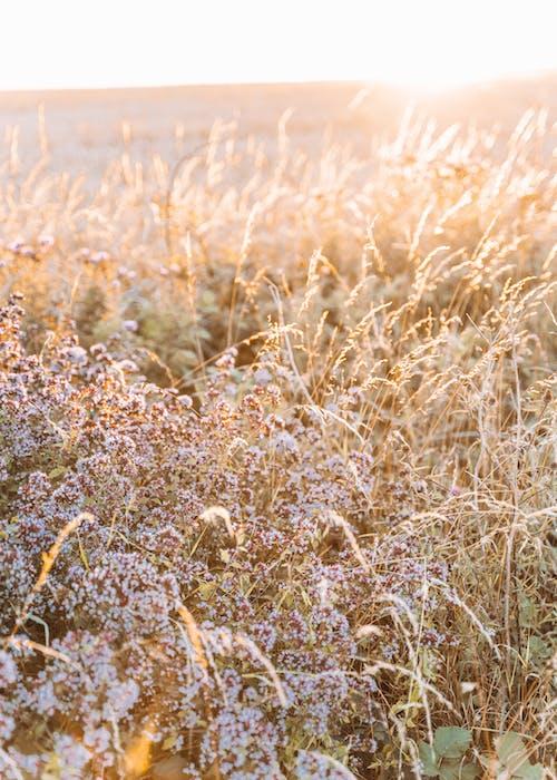 Základová fotografie zdarma na téma cereální, flóra, hřiště, kukuřice