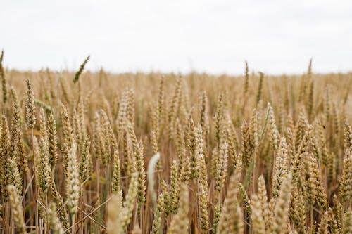 คลังภาพถ่ายฟรี ของ การทำฟาร์ม, การเกษตร, การเจริญเติบโต, ขนมปัง