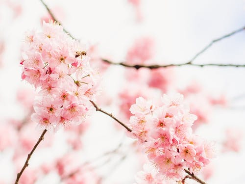 Blossoming pink sakura tree in spring garden