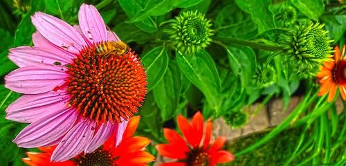 Free stock photo of bees, flowers, honeybee