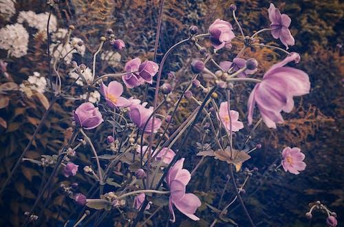 Gratis lagerfoto af anemone, årgang, blad, blomst