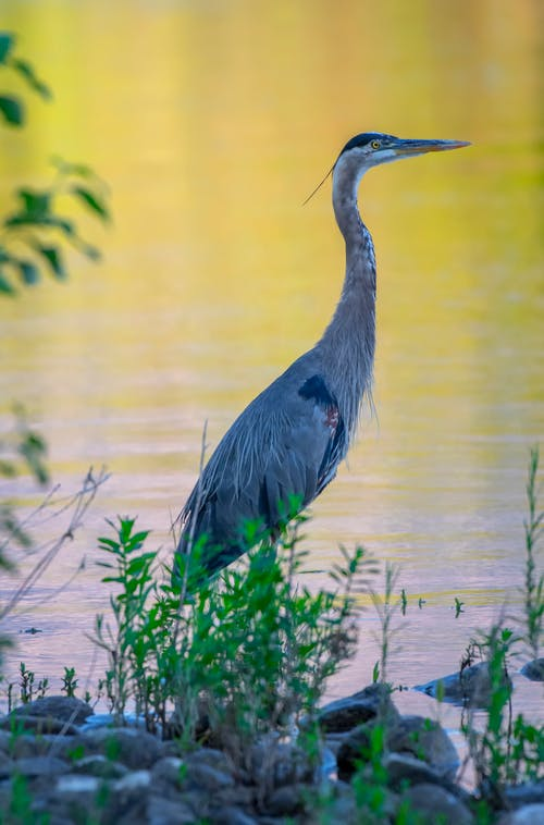 Безкоштовне стокове фото на тему «велика блакитна чапля, птах, синя чапля»