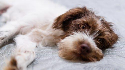 Free stock photo of animal fofo, Cachorrinho, Cachorro, cão de olhos castanhos