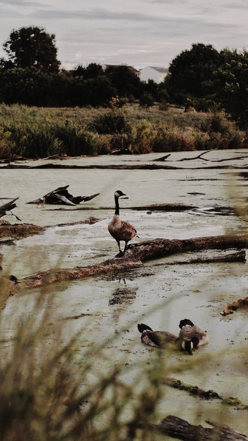 Flock of Geese at Lake