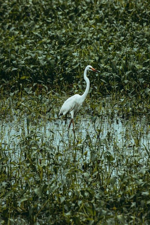 Great egret on swamp between lush green plants