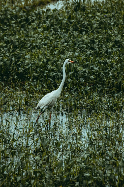 Common egret with white plumage and long neck standing on morass between plants in summer