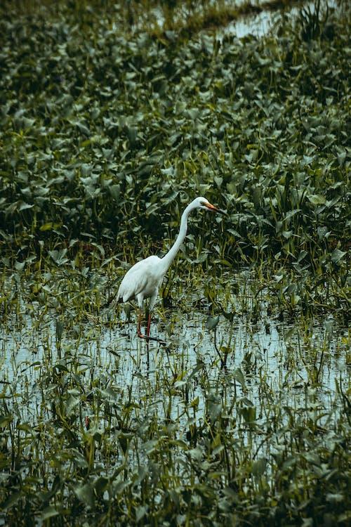 Common egret on swamp between lush plants