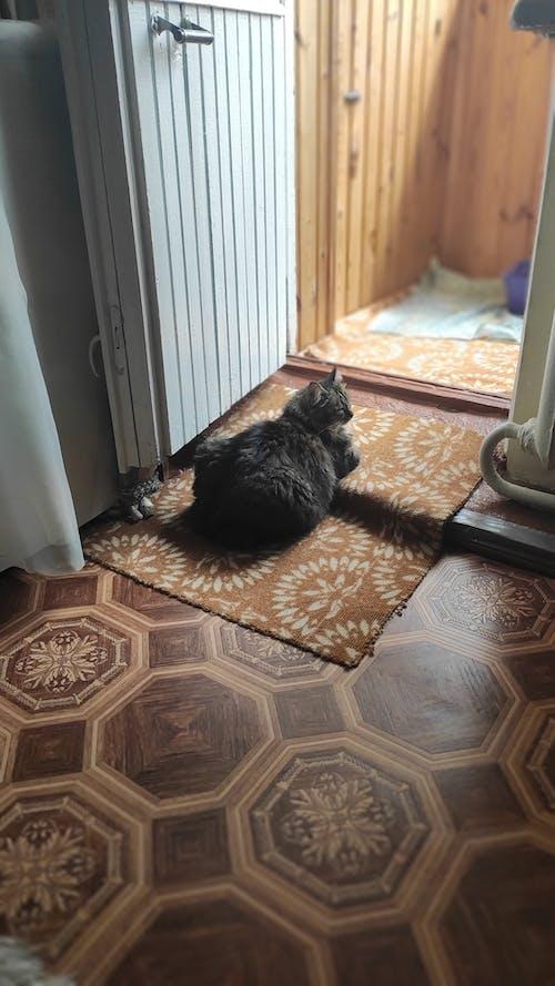 Ilmainen kuvapankkikuva tunnisteilla # кошка в гостях, # кошка на отдыхе, #kissa, #shama