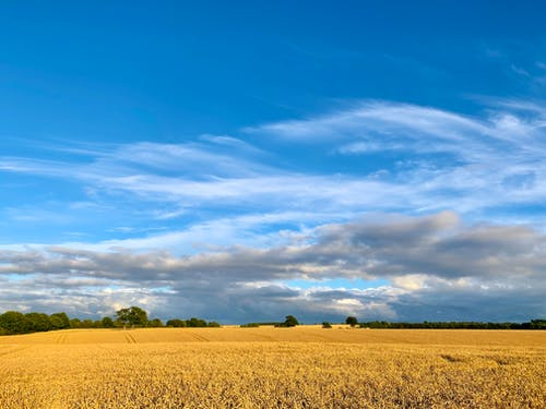 Free stock photo of blue sky, corn, countryside, peaceful
