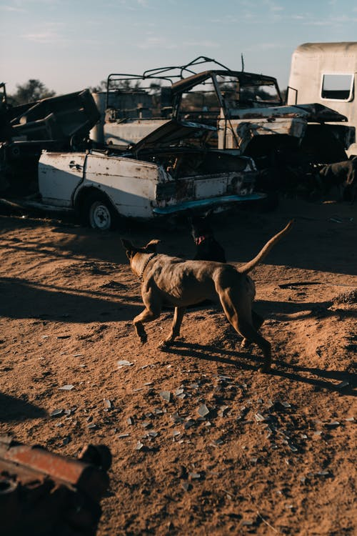 Dog with brown coat strolling on sandy land against old rusty automobiles in sunlight