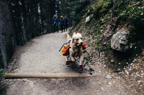 Active Golden Retriever running with trekking equipment with travelers walking on trail in highland