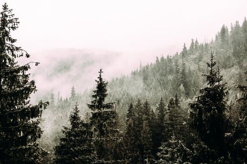 Coniferous trees with needles growing in woods in foggy overcast day in nature