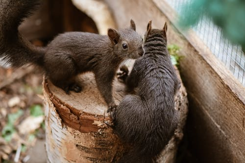 Two Brown Squirrels on a Log