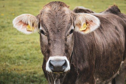 Základová fotografie zdarma na téma dívání, hospodářská zvířata, hovězí dobytek, kráva