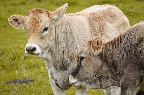 Základová fotografie zdarma na téma býk, dívání, divočina, hospodářská zvířata
