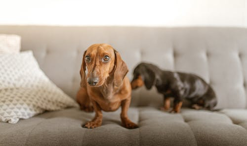 Black and Brown Dachshund Puppy on Gray Couch