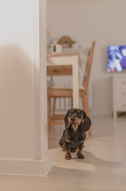 Obedient little Dachshund dog sitting on floor