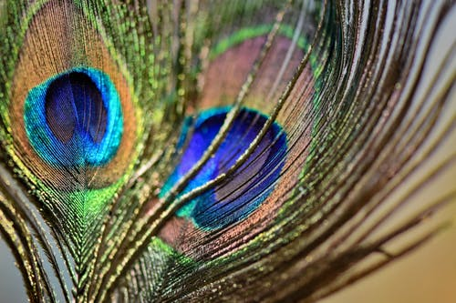 Fotobanka sbezplatnými fotkami na tému chvost, divočina, farba, hrá dúhovými farbami