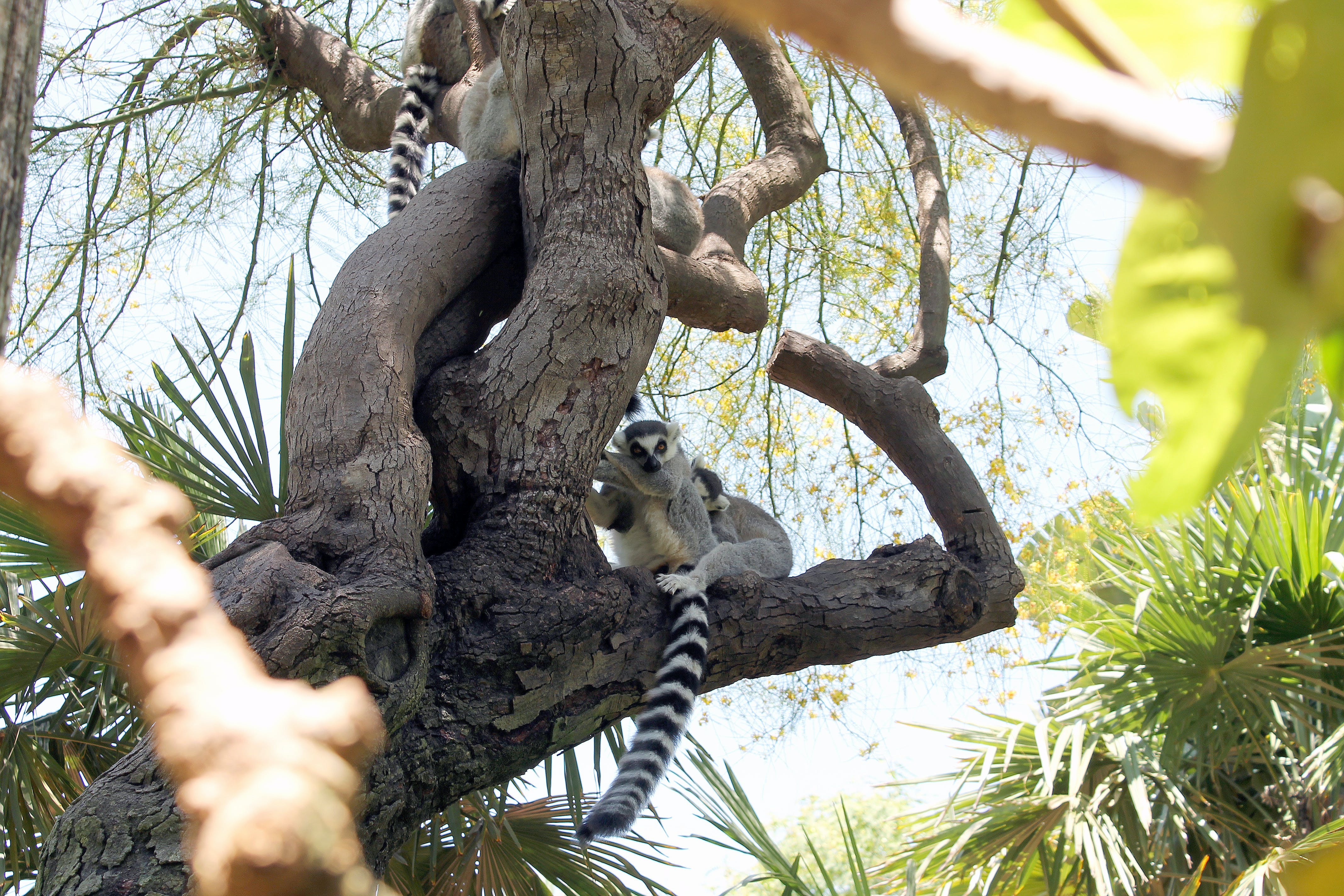 Ring-tailed Lemurs in Tree
