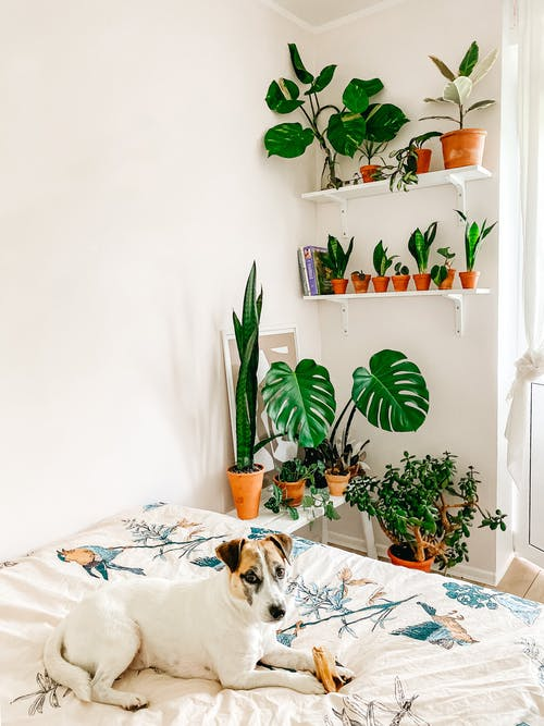 Adorable Smooth Fox Terrier dog resting in bedroom near houseplants collection
