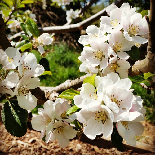 Fotobanka sbezplatnými fotkami na tému apple blossom - teplý filter
