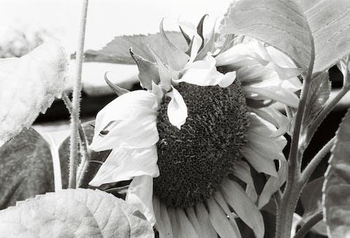 Free stock photo of analog, schwarz und weiss, Sonnenblume