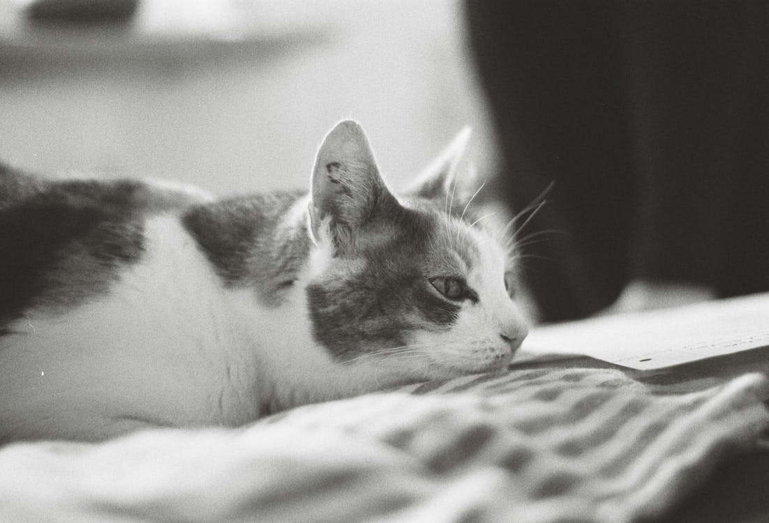 White and Brown Cat on White and Black Textile